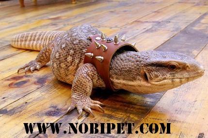 Ban-bo-sat-canh-reptiles-ky-da-nam-phi-savannah-monitor-gia-re-tai-da-nang