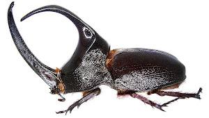 10 Jenis Kumbang Tanduk Yang Paling Terkenal Di Dunia