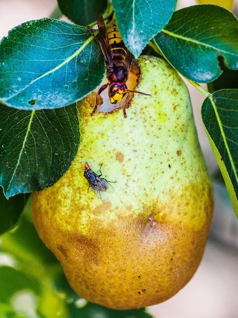Hoornaar eet peer