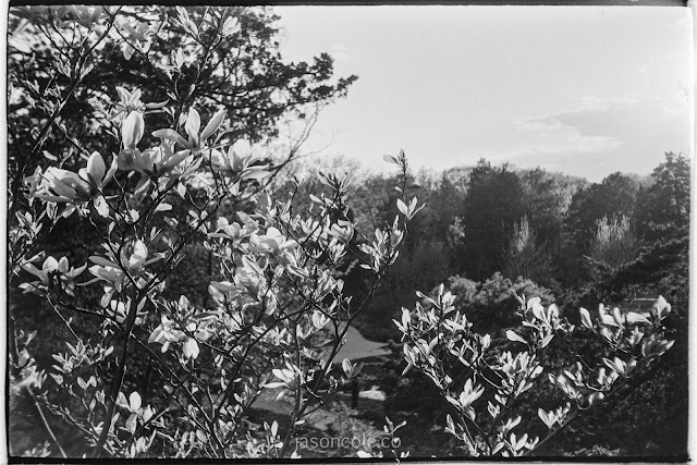 Magnolias in Garden - crafted metol developer