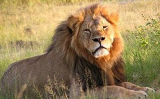 शेर पर जानकारी ▷ some facts about lion in hindi