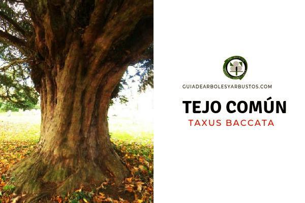 El tronco del tejo común, Taxus baccata, es grueso, de hasta 1.5 m de diámetro