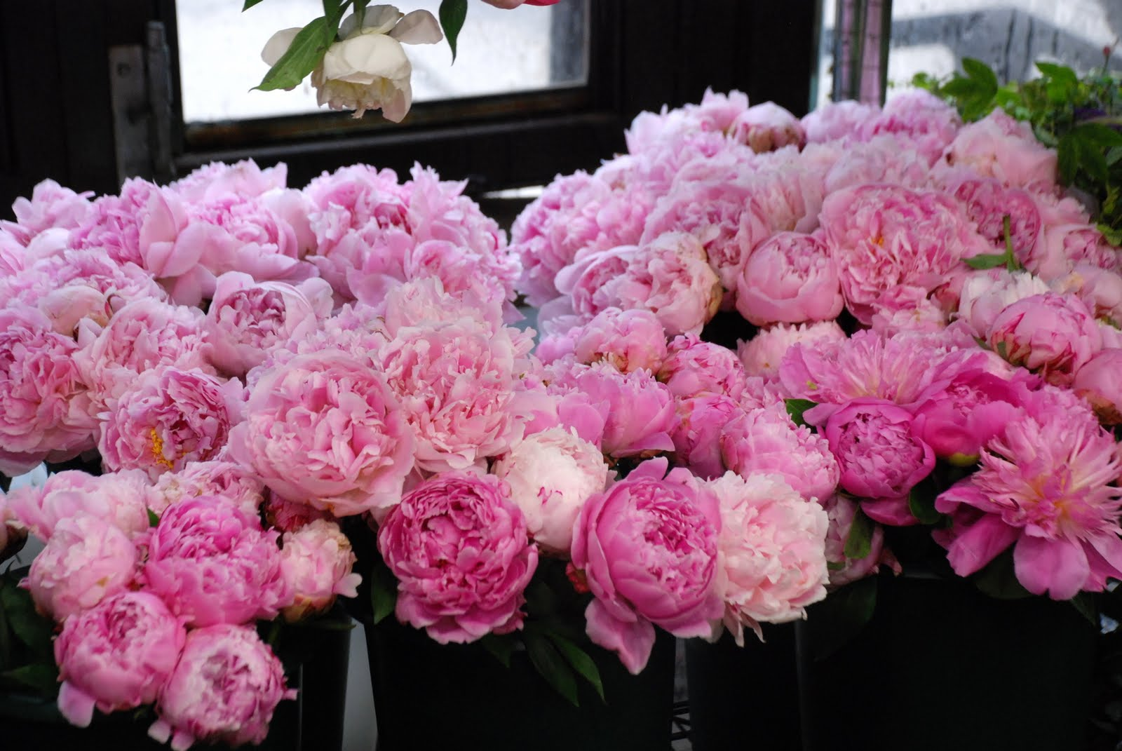 Beautiful Flowers 2019 Peony Flower Season Beautiful Flowers