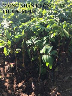 Cung cấp cây giống nhãn tím, nhãn vỏ tím, nhãn không hạt nhập khẩu Thái Lan chuẩn, bảo hành giống