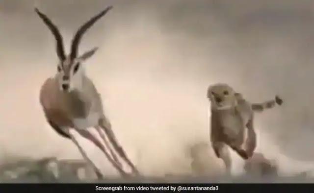 चीते ने शिकार के लिए लगाई दौड़ तो बारहसिंगा ने ऐसे दिया चकमा, सीधे दौड़ते हुए किया ऐसा... देखें Viral Video