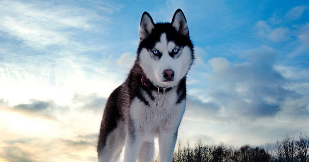 Wallpapers Gallery Falls Wallpapers Siberian Husky