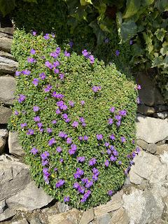 Aubrieta deltoidea - Purple Rock Cress – via Castagneta, Bergamo.
