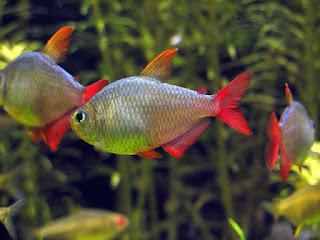 Columbian Tetra Fish Pictures