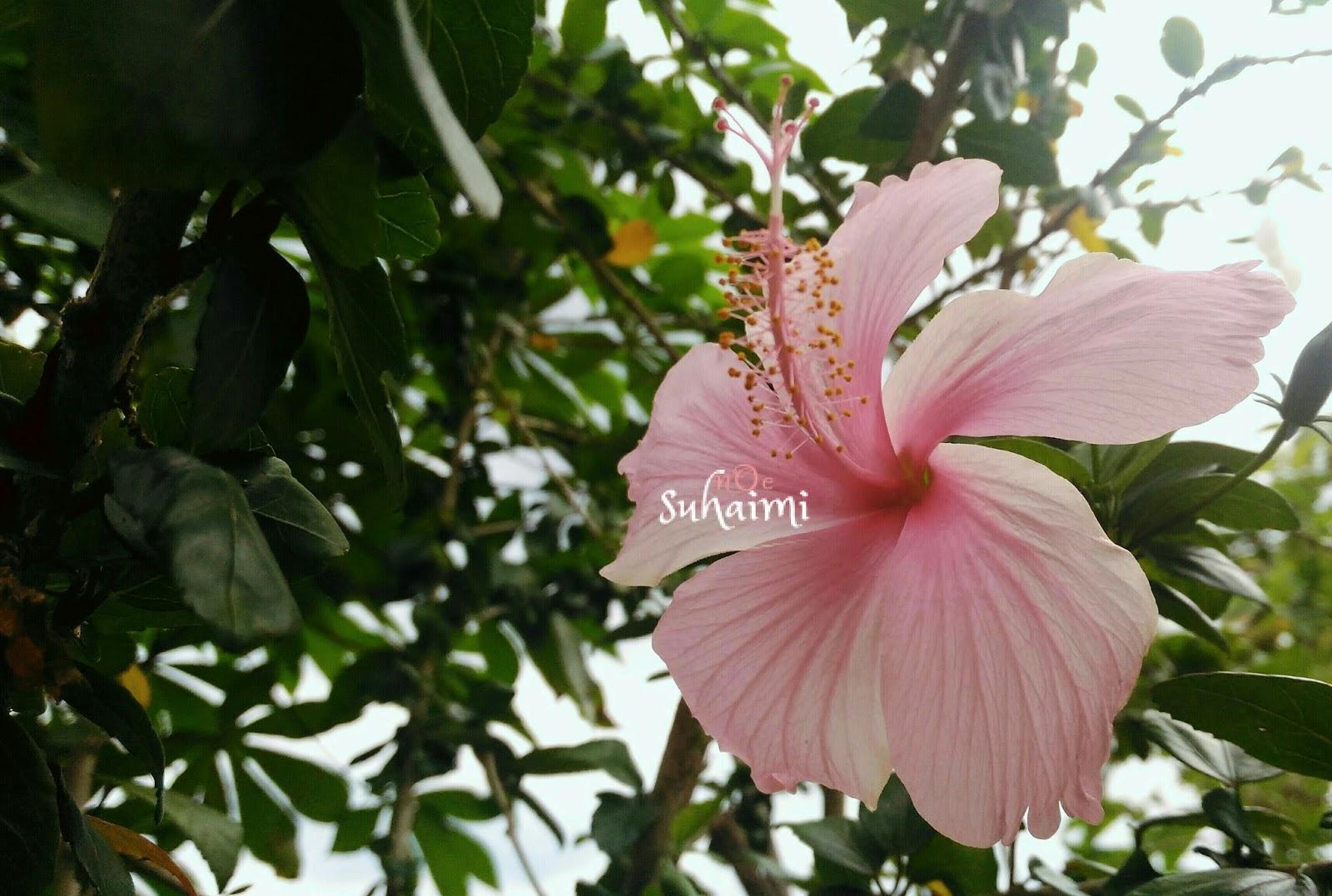 Bunga Raya Pink