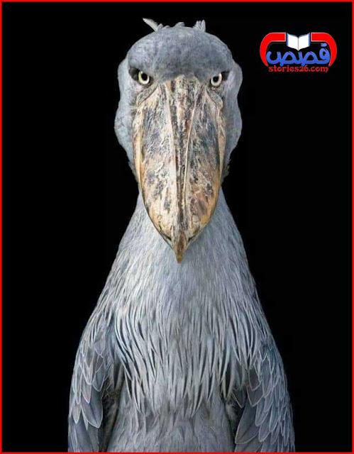 غرائب الحيوانات والطيور | طائر أبو مركوب