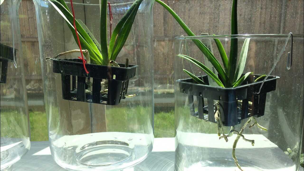 Budidaya anggrek hidroponik semi water culture