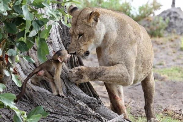Leão e bebê babuíno