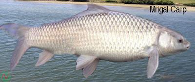 mrigal carp, mrigal carp fish