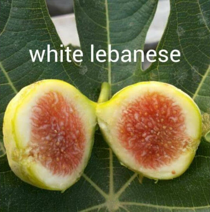 Bibit buah tin WHITE LEBANESE fresh cangkok tin Aceh