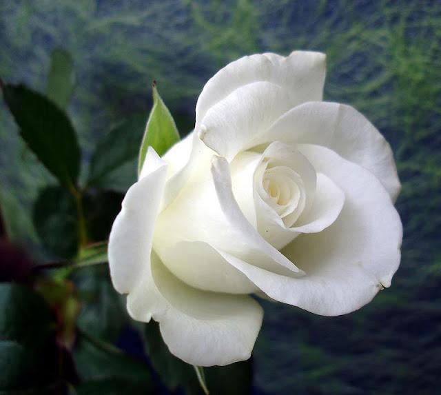bó hoa hồng trắng đẹp nhất 2017 1