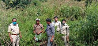 पुलिस ने गांजे के पौधे जप्त किया, अपराधी को भी गिरफ्तार किया