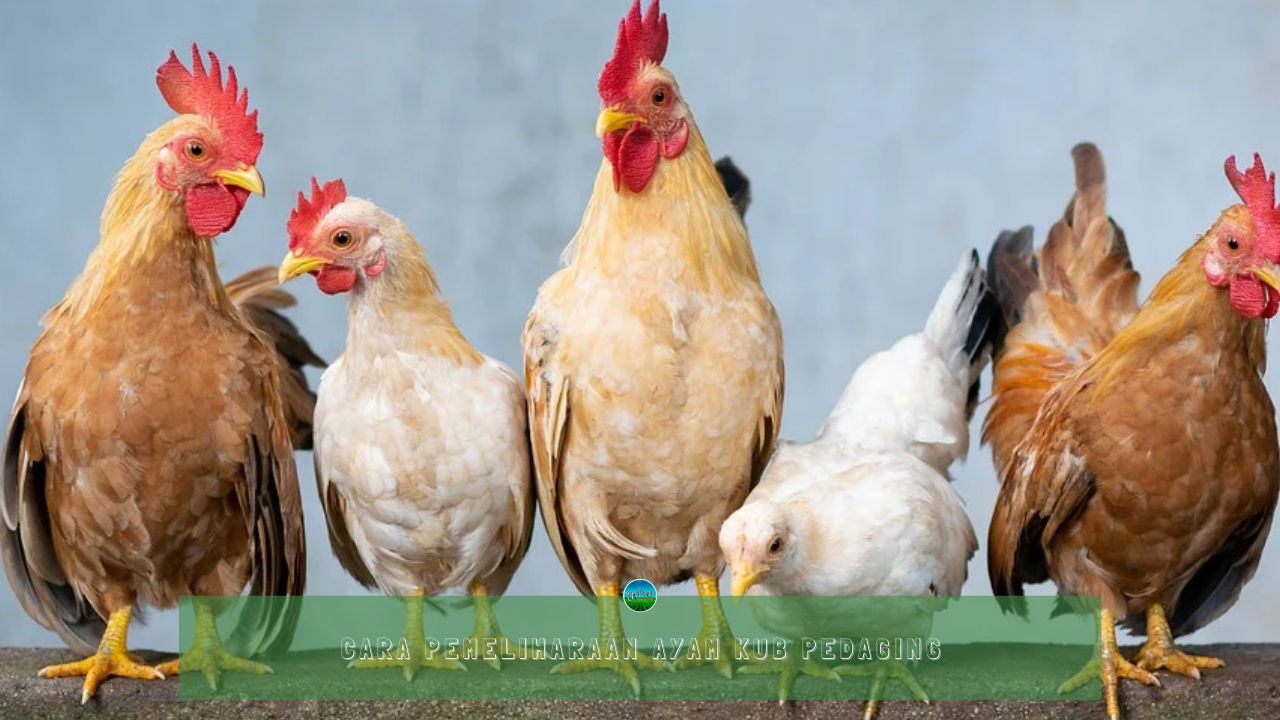 Cara Pemeliharaan Ayam KUB Pedaging