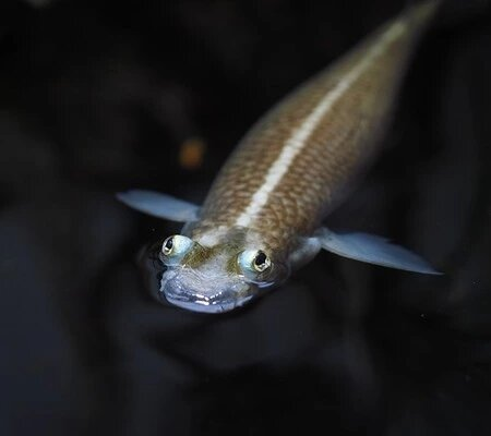 Anableps fish fact