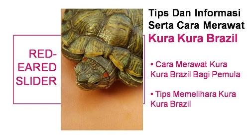 Cara merawat dan Memelihara kura kura brazil