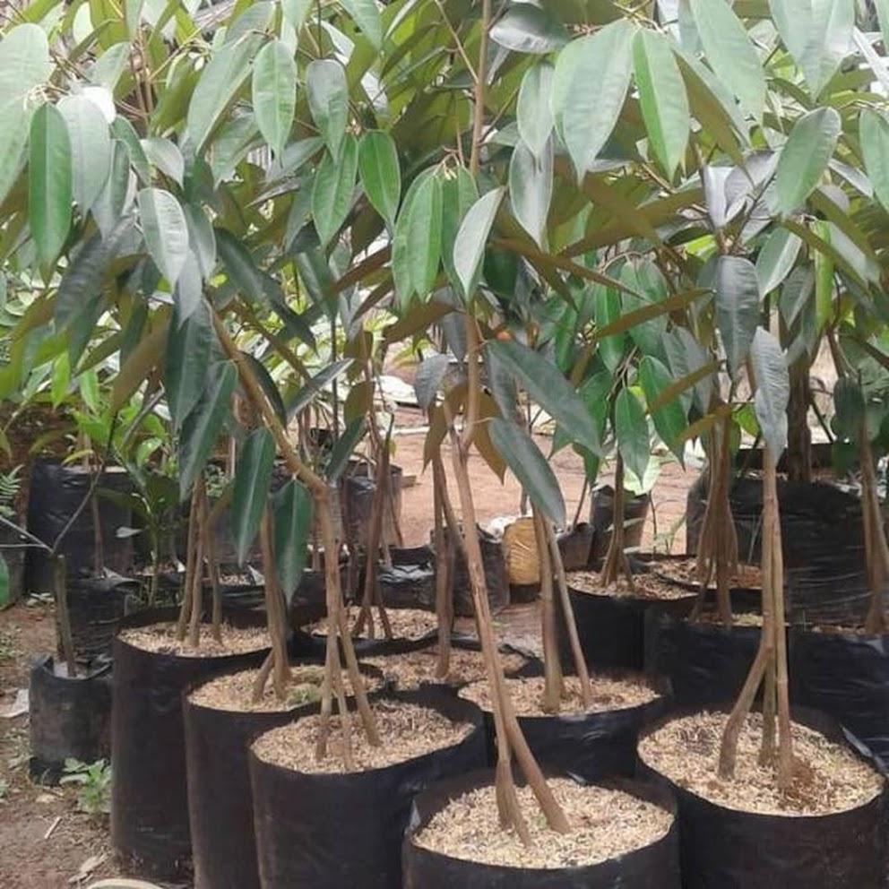 Bibit durian montong kaki 3 Super Bandung