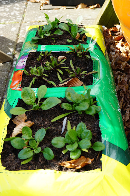 allotment patio grow bag of spinach and beetroot - a stubborn optimist blog - C. Gault 2020