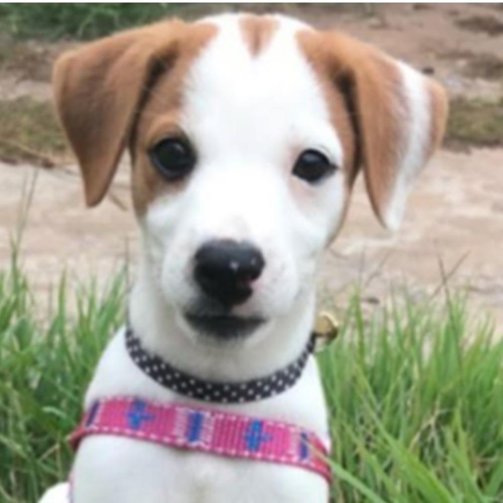 Cão Perdido: Filhote está desaparecida em Cajobi