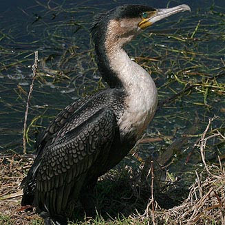 cormoran grande Phalacrocorax carbo
