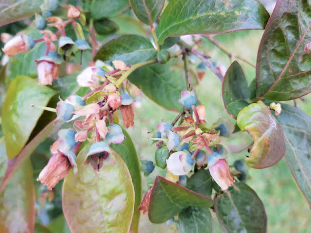 Close up of blueberries forming on a bush