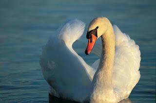 Šta znači sanjati labuda?