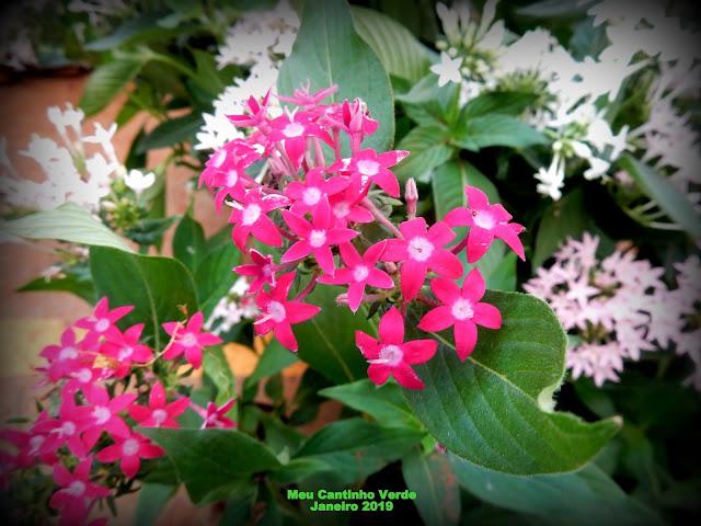 PENTAS - ( Pentas lanceolata )