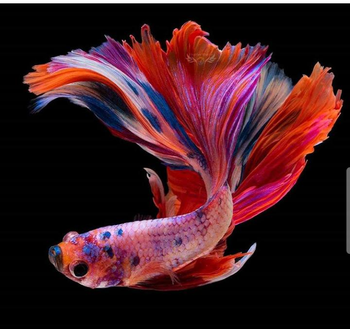 2 Cara Merawat Ikan Cupang Agar Warnanya Bagus Paling Ampuh Cupang Sehat
