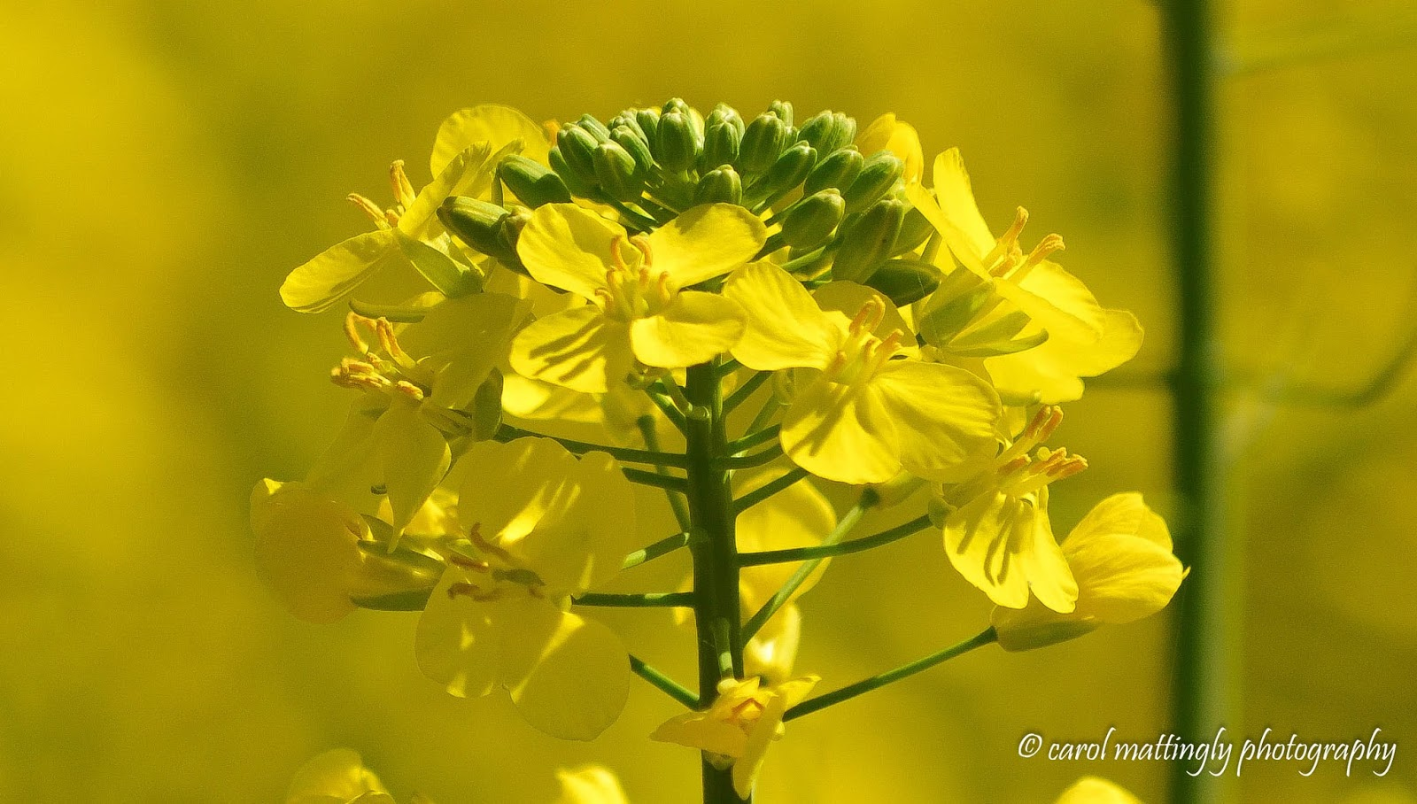 carol mattingly photography canola fields of northern tennessee