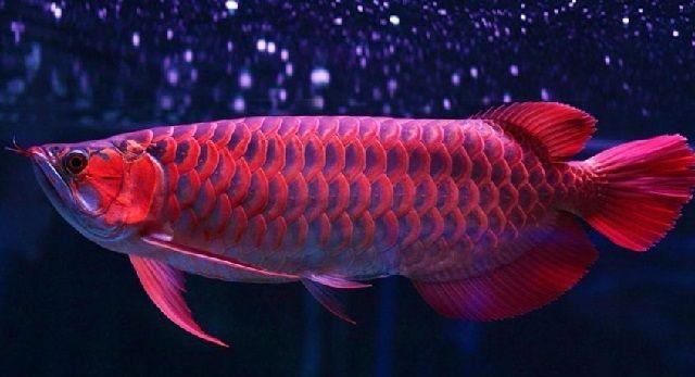Ciri Ciri Ikan Arwana