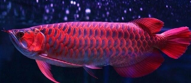 Ciri Ciri Ikan Arwana yang Bagus untuk Dibeli dan Dipelihara