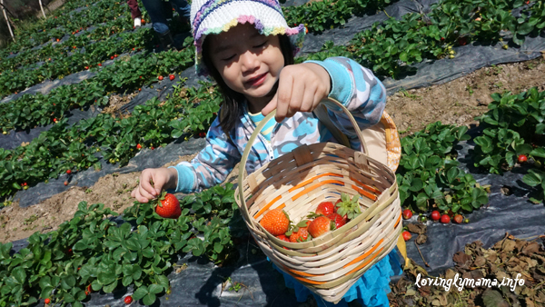 Baguio City - strawberry picking - La Trinidad
