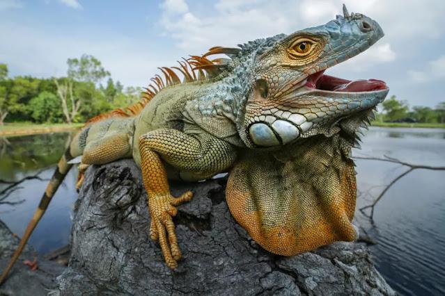Iguanidae (ඉගුවානා) - Your Choice Way
