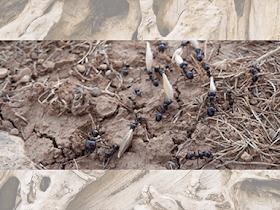 ✅Vuelo Nupcial| Hormigas Voladoras