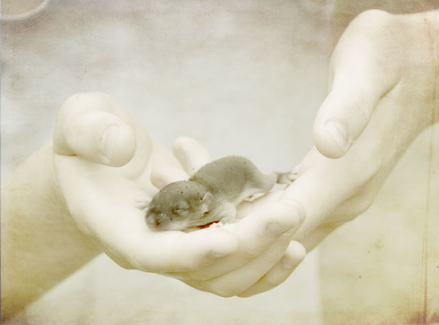 baby mouse  in hands
