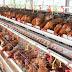 Keuntungan dan Kerugian Budidaya Ayam Petelur