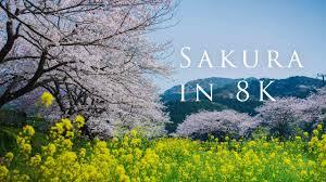 Sakura in 8K