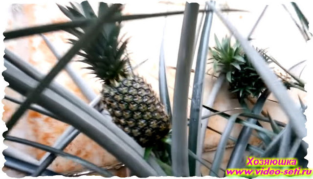 Как можно вырастить ананас дома