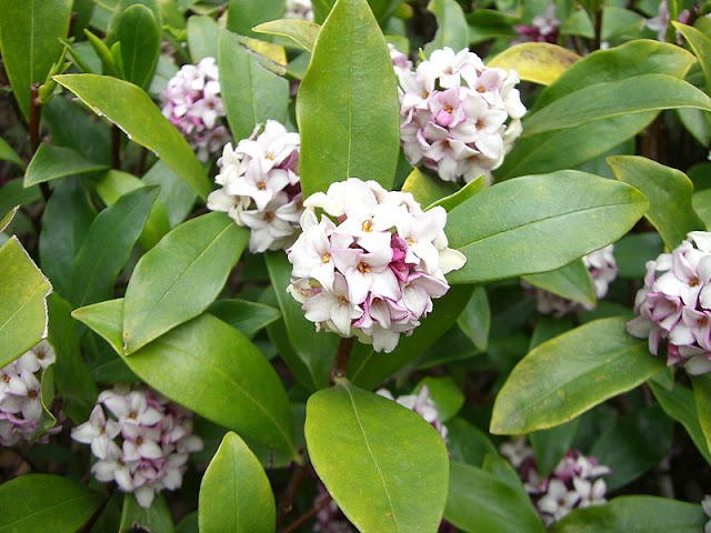 WHERE IS THE BEST PLACE TO PLANT A DAPHNE?