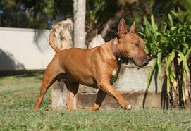 anjing bulldog english jarang menggonggong berlebihan dalam apartemen