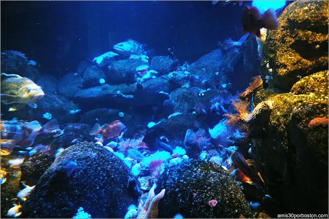 Boulder Reef del Golfo de Maine en el Acuario de Boston