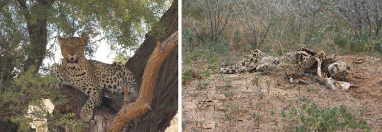 """So ist das Leben - auch den Leoparden """"erwischt es"""" ...irgendwann auch mal...."""