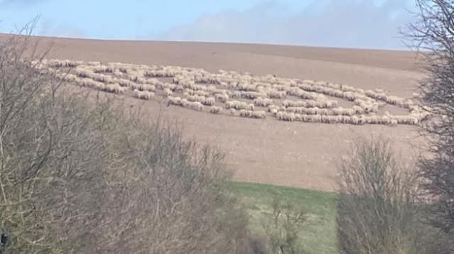 Foto Domba Misterius Membentuk Lingkaran Aneh, Dikaitkan dengan Alien