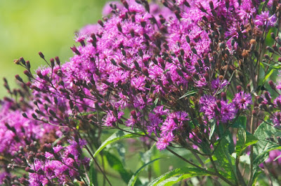 Tall Ironweed (Vernonia gigantea)