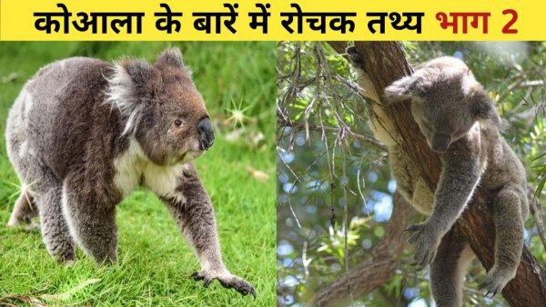 Interesting Facts about Koala | कोआला के बारे में रोचक तथ्य | पेड़ पर सोते भालू
