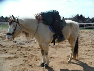 symptomatic n/P1 horse, symptomatic P1 horse, symptomatic heterzygous PSSM 1 horse
