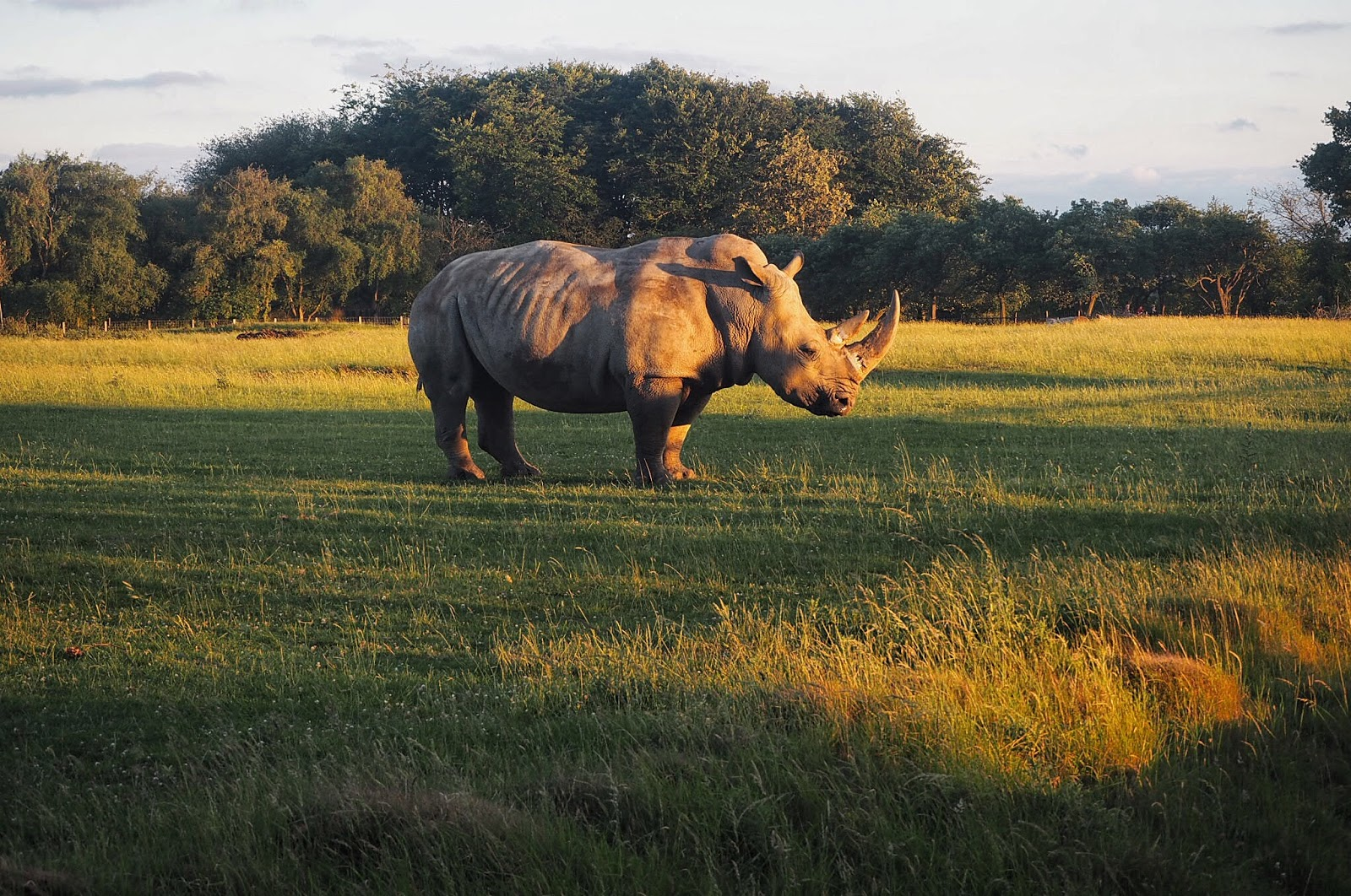 rhino in orange sunset glow whipsnade zoo